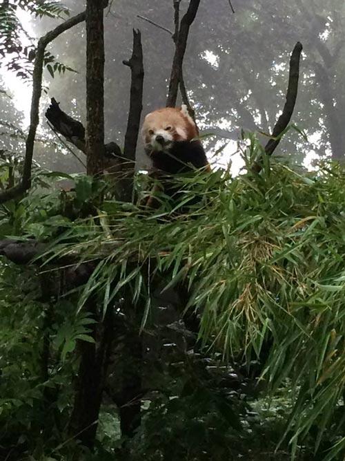 The adorable red panda at the Darjeeling Zoo